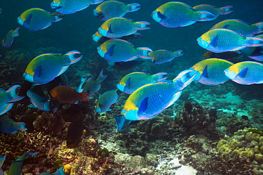 Greenthroat or Singapore parrotfish (Scarus prasiognathus), large school of terminal males swimming over coral reef, Andaman Sea, Thailand.