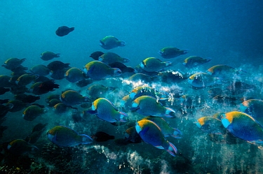Greenthroat or Singapore parrotfish (Scarus prasiognathus), large school of terminal males leaving droppings of ground up coral rock, Andaman Sea, Thailand.