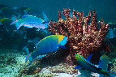 Greenthroat or Singapore parrotfish (Scarus prasiognathus), terminal males grazing on algae covered coral, Andaman Sea, Thailand