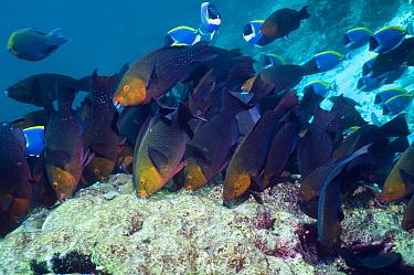 Greenthroat or Singapore parrotfish (Scarus prasiognathus), large school of females grazing on algae covered coral boulder, Andaman Sea, Thailand.