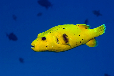 Guineafowl puffer fish (Arothron meleagris) also known as the Golden puffer or Spotted puffer because is has three colour phases which differ dramatically. Maldives, Indian Ocean