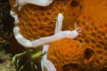 Synaptid sea cucumber (Holothuroidea) on sponge, Rinca, Komodo National Park, Indonesia