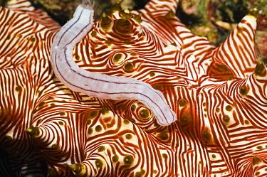 Sea cucumber (Synaptula sp.) crawling on (Thelenota rubralineata) Manado, North Sulawesi, Indonesia