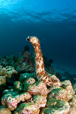 Graeff's sea cucumber (Bohadschia graeffei) has climbed on top of a coral boulder to spawn, Andaman Sea, Thailand
