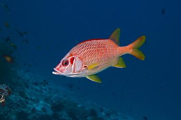 Long jawed / Sabre squirrelfish (Sargocentron spiniferum) Maldives, Indian Ocean