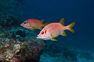 Long jawed / Sabre squirrelfish (Sargocentron spiniferum) pair over coral reef, Maldives, Indian Ocean