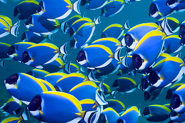 Powder blue surgeonfish (Acanthurus leucosternon), large school swimming, Andaman Sea, Thailand