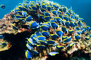 Powder blue surgeonfish (Acanthurus leucosternon), large school feeding on algae on coral boulders, Andaman Sea, Thailand
