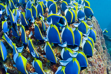 Powder blue surgeonfish (Acanthurus leucosternon), large school feeding on algae on coral boulders, Andaman Sea, Thailand.