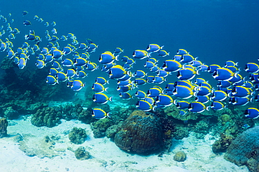 Powder blue surgeonfish (Acanthurus leucosternon), large school swimming, Andaman Sea, Thailand.