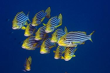 Oriental sweetlips (Plectorhinchus vittatus), Maldives, Indian Ocean