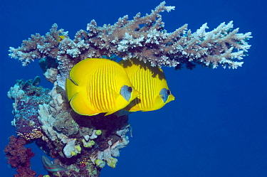 Masked butterflyfish (Chaetodon semilarvatus) with acropora coral. Egypt, Red Sea. Red Sea endemic.
