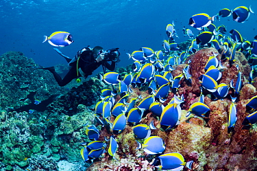 Large school of Powderblue surgeonfish (Acanthurus leucosternon) grazing on algae covered coral rock with a diver with a camera. Andaman Sea, Thailand.