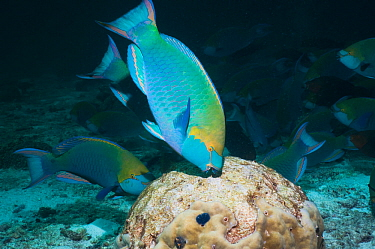 Greenthroat or Singapore parrotfish (Scarus prasiognathus) terminal males grazing on algae covered coral boulder. Andaman Sea, Thailand.