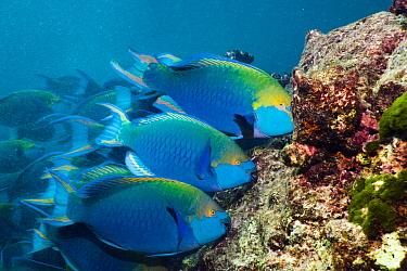 Greenthroat or Singapore parrotfish (Scarus prasiognathus), terminal males grazing on algae covered coral boulders. Andaman Sea, Thailand.