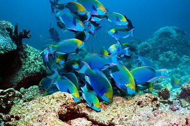 Greenthroat or Singapore parrotfish (Scarus prasiognathus), large school of terminal males grazing on algae covered coral rock. Andaman Sea, Thailand.