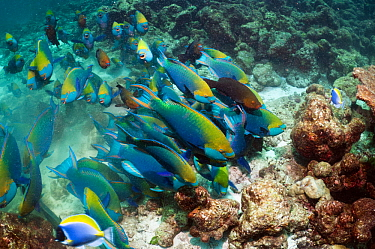 Greenthroat or Singapore parrotfish (Scarus prasiognathus), large school of terminal males with some females swimming over coral reef. Andaman Sea, Thailand.