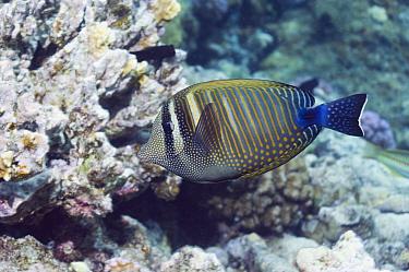 Desjardin's sailfin tang (Zebrasoma desjardinii). Egypt, Red Sea.