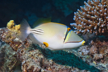 Picasso triggerfish (Rhinecanthus assasi) swimming over coral reef. Egypt, Red Sea.