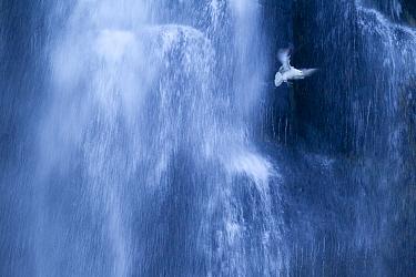 Northern fulmar (Fulmarus glacialis) in flight against a waterfall, Iceland, January