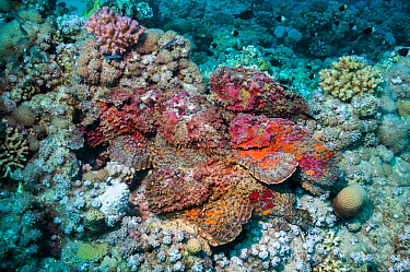 A group of six Reef stonefish (Synanceia verrucosa) in a mating congregation, the males jostling for position and swimming over the females.  The female stonefish releases its eggs on the bottom of th...