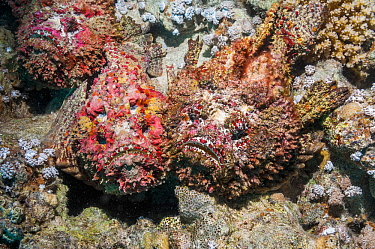 Reef stonefish (Synanceia verrucosa) in a mating congregation, the males jostling for position and swimming over the females.  The female stonefish releases its eggs on the bottom of the sea floor, th...
