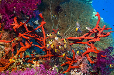 Shimmering cardinals (Archamia lineolata) on coral reef with Red rope sponge (Amphimedon compressa) and soft corals and a gorgonian in background. Egypt, Red Sea.
