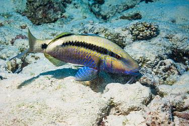 Dash-and-dot goatfish (Parupeneus barberinus) Egypt, Red Sea.
