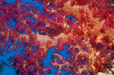 Soft coral (Dendronephthya sp) showing embedded spicules / sclerites. Egypt, Red Sea.