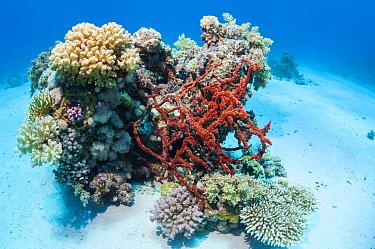 Red rope sponge (Amphimedon compressa) Egypt, Red Sea.