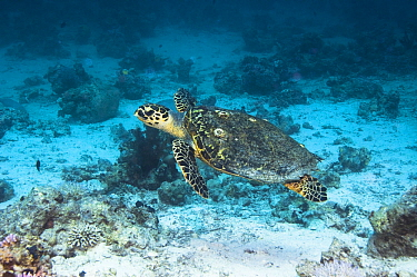 Hawksbill turtle (Eretmochelys imbricata) swimming over coral reef. Egypt, Red Sea.