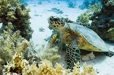 Green turtle (Chelonia mydas) feeding on soft corals. Egypt, Red Sea.