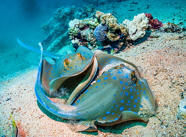 Bluespotted Ribbontail Rays (Taeniura lymna) with another swimming up from behind. Egypt, Red Sea.