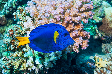 Yellowtail tang or surgeonfish (Zebrasoma xanthurum)  Egypt, Red Sea.
