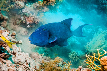 Blue triggerfish (Pseudobalistes fuscus) digging in the sand for molluscs or worms.  Egypt, Red Sea.