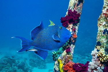 Blue triggerfish (Pseudobalistes fuscus) with a Bluestreak cleaner wrasse.  Egypt, Red Sea.