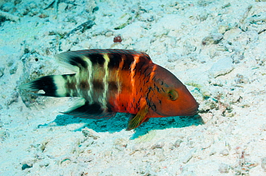 Redbanded or Redbreasted wrasse (Cheilinus quinquecinctus)  Egypt, Red Sea.