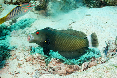Rockmover wrasse (Novaculichthys taeniorus) carrying a piece of rubble. Egypt, Red Sea.