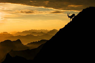 Alpine ibex (Capra ibex) male on mountainside at sunrise, Bernese Alps, Switzerland, July. Received honourable mention in the Big Picture Competition awards 2014. Nominated in the Melvita Nature Image...