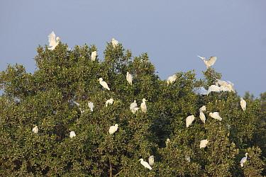Cattle egrets (Bubulcus ibis) in tree, Mangroves near Abu Dhabi City, UAE.
