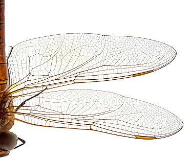 Vagrant emperor dragonfly  (Anax ephippiger) half body crop, Greece. meetyourneighbours.net project