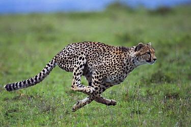 Cheetah (Acinonyx jubatus) cub aged about one year running. Maasai Mara National Reserve, Kenya.