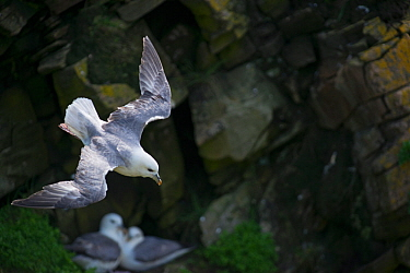 Northern fulmar (Fulmarus glacialis) flying past pair nesting on cliff, Shetland, UK, June.