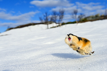 Norway lemming (Lemmus lemmus) jumping aggressively, during the lemming population explosion, Vauldalen, Norway, May, 2011.