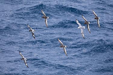 Antarctic petrel (Thalassoica antarctica), Antarctic Fulmar (Fulmarus glacialoides) and Pintado petrel (Daption capensis) flying, Antarctica, October.