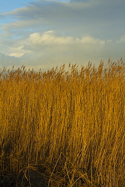 Common reed (Phragmities communis), Steart Marshes Wildfowl and Wetland Trust, Somerset, UK, February 2015.   This area has been allowed to flood by the WWT and the Environment Agency to create new sa...
