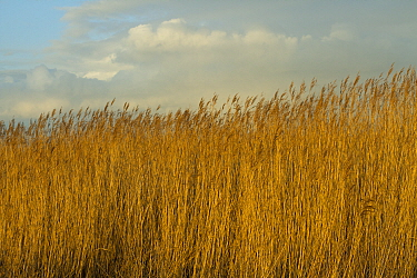 Common reed (Phragmities communis), Steart Marshes Wildfowl and Wetland Trust, Somerset, UK, February 2015.  This area has been allowed to flood by the WWT and the Environment Agency to create new sal...