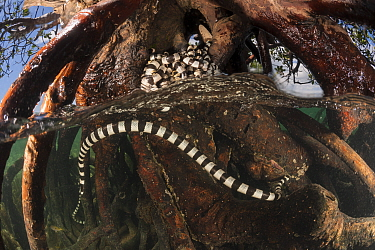 Banded sea kraits (Laticauda colubrina) around the roots of a mangrove tree, split level. Mali Island, Macuata Province, Fiji, South Pacific. Second Place in the Portfolio Award of the Terre Sauvage N...