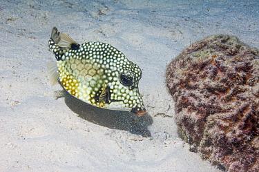 Smooth trunkfish (Lactophrys triqueter) on sea floor, Bonaire, Netherlands Antilles, Caribbean, Atlantic Ocean.