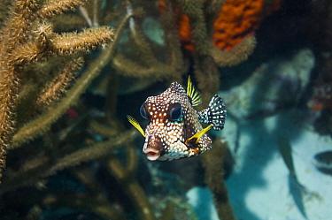 Smooth trunkfish (Lactophrys triqueter)  Bonaire, Netherlands Antilles, Caribbean, Atlantic Ocean.